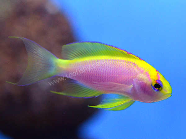 Ventralis Anthias, Female
