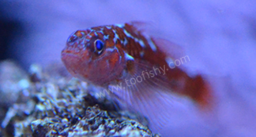 White Spotted Trimma Goby