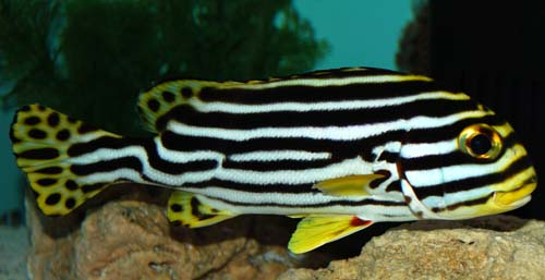 Striped Sweetlips XXL