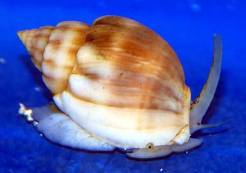 Large Nassarius Snails 10-Lot