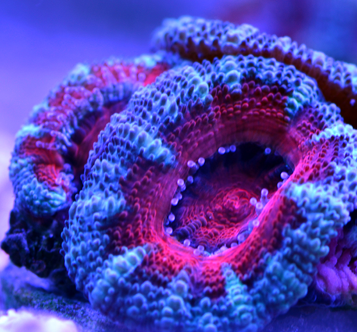 Australian Acan Medium Frag