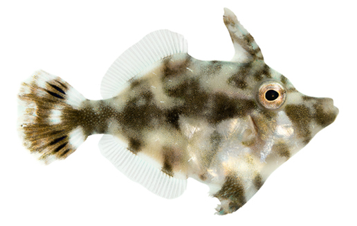 ORA Aiptasia-Eating Filefish, Captive-Bred