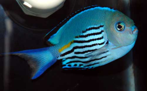 Watanabei Angelfish - Male