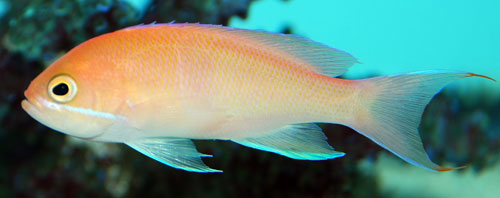 Red Bar Anthias