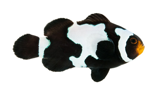 ORA Black Snowflake Ocellaris