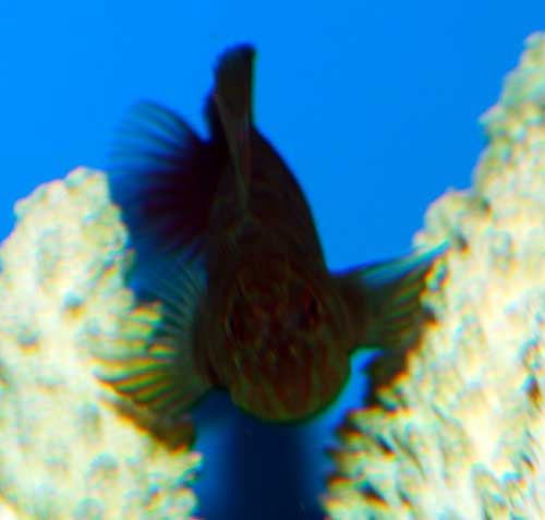 Red Streak Blenny