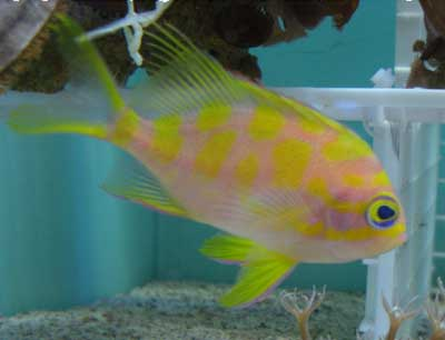 Deepwater Yellow Blotched Anthias