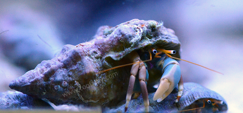 Blue Eyed Hermit Crab