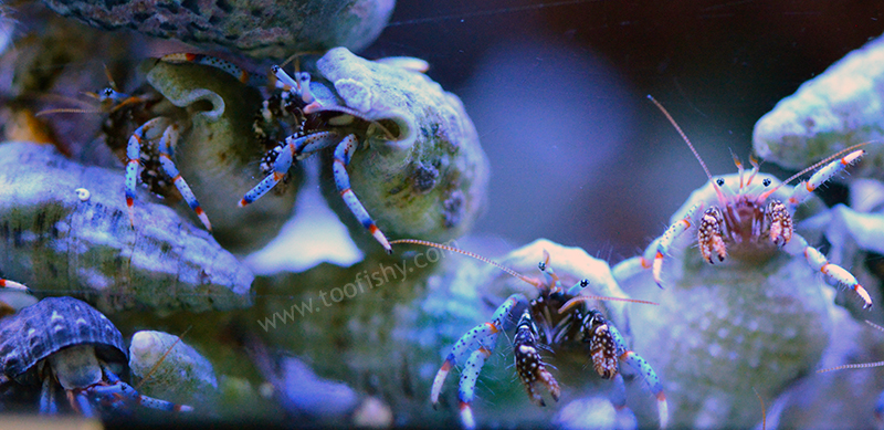 Blue Leg Hermit Crab - 12 Lot
