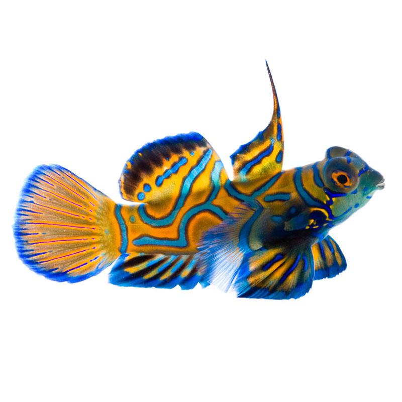 ORA Blue Mandarin Dragonet
