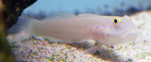 Blue Spot Sleeper Goby