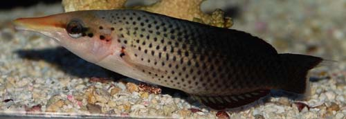 Brown Bird Wrasse (Female)