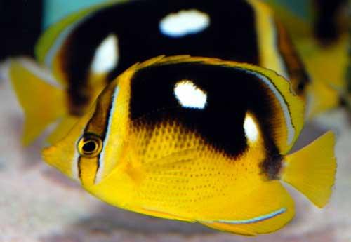Four Spot Butterfly