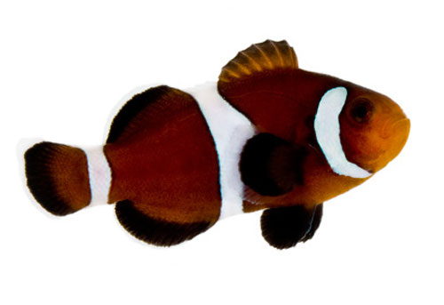 Caramel Ocellaris Clown *Captive Bred