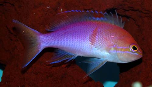 Carlsoni Anthias