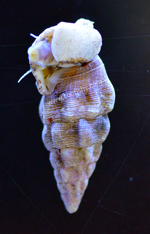 Cerith Snails - 10 lot