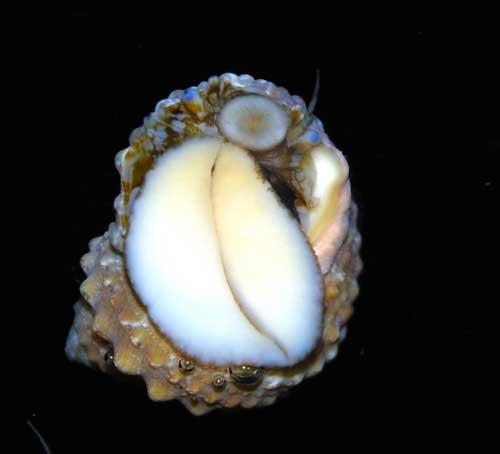 Chestnut Turbo Snail - 25 Lot
