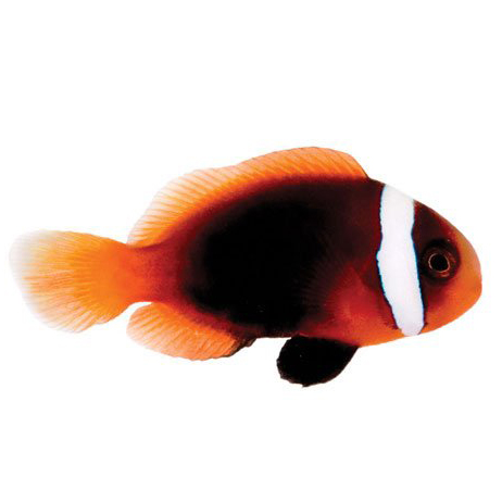 ORA Cinnamon Melanopus Clown