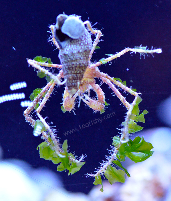 Frilly Decorator Arrow Crab