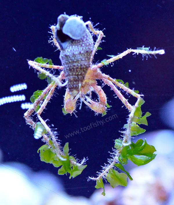 Frilly Decorator Arrow Crab