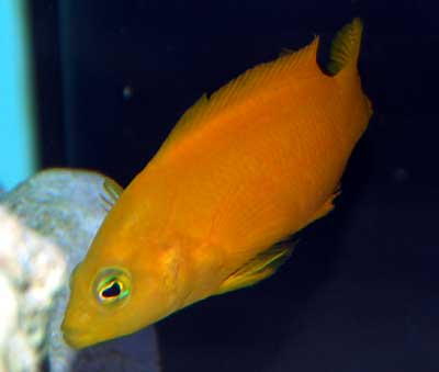 Yellow Dottyback