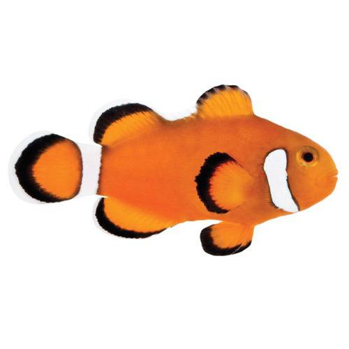 ORA Extreme Misbar Ocellaris Clownfish