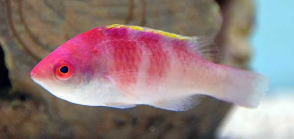 Yellow-Fin Fairy Wrasse