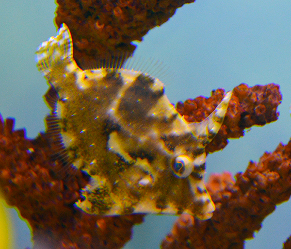 Aiptasia-Eating Filefish
