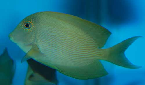 Fine Lined tang