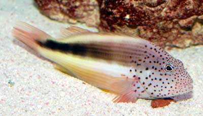 Freckled Hawkfish
