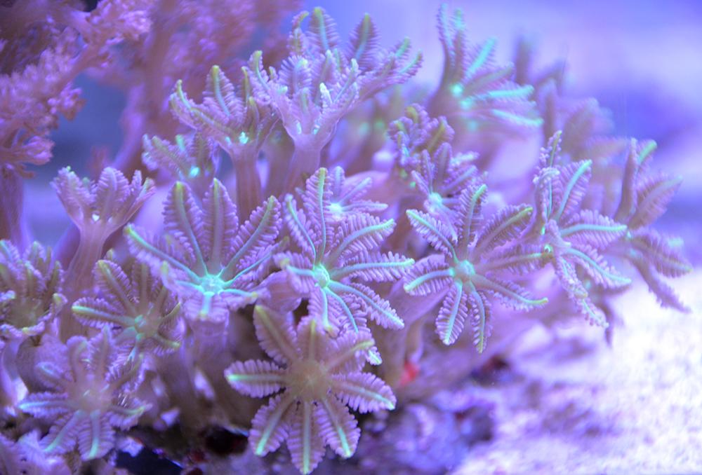 Glove Clavularia Polyps