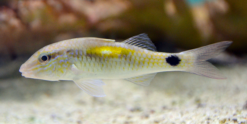 Indian Goatfish
