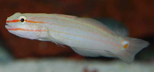 Crosshatch Goby
