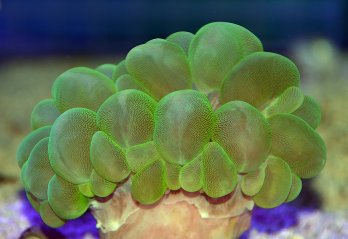 Green Bubble Coral