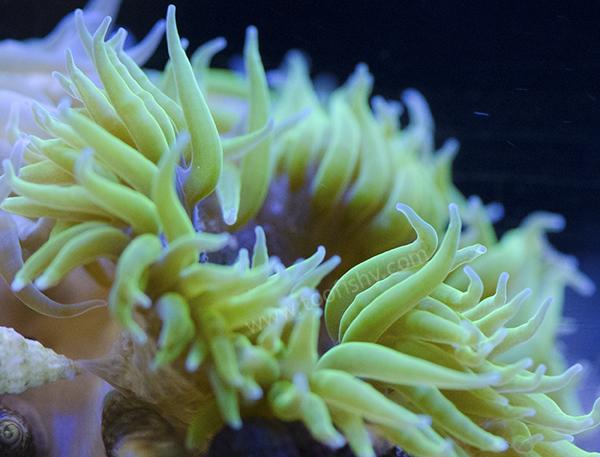 Green Flower Anemone