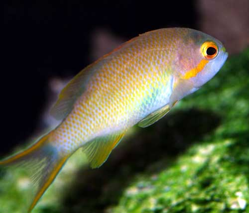 Hutchi Anthias