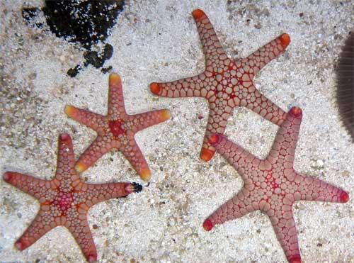 Volcano Fromia Starfish