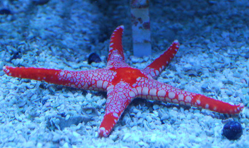 Jewel Starfish