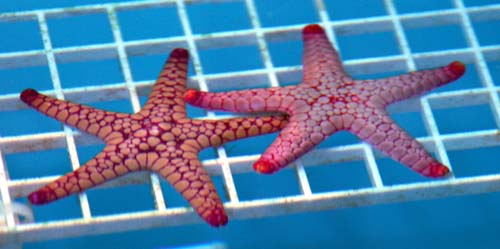 Marbled Starfish