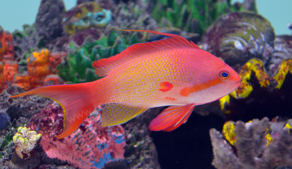 Squamipinnis Anthias, Kenya Male