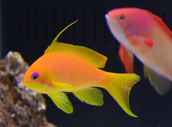 Squamipinnis Anthias, Fiji Female