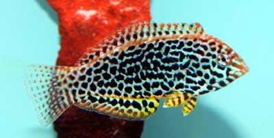 Female Leopard Wrasse