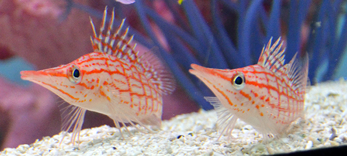 Hawaiian Longnose Hawkfish - Mated Pair!