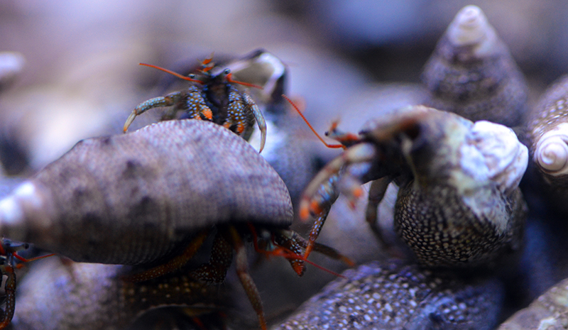 Mexican Red Leg Hermit Crabs - 10 Lot