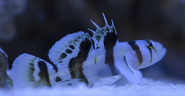 Nocturn Goby