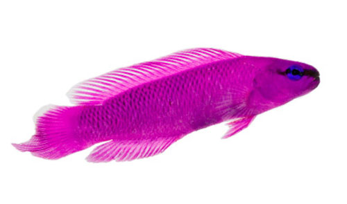 ORA Orchid Dottyback