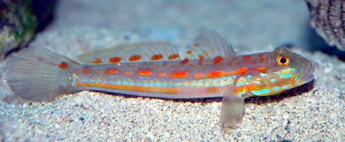 Orange Spot Sleeper Goby, Small