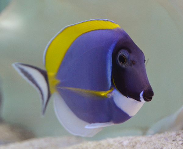 Powder Blue Tang, Medium