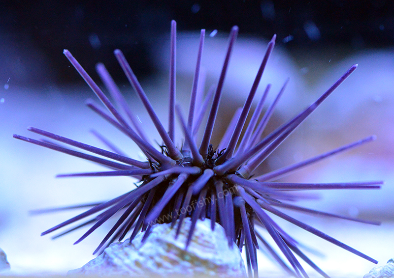 Purple Spine Black Urchin