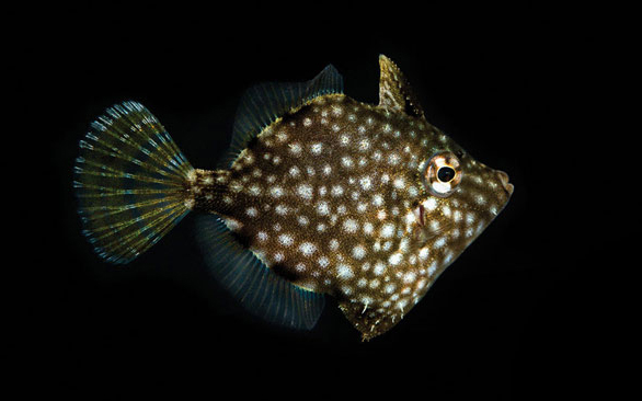 ORA Whitespotted Pygmy Filefish